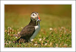 Title: Puffin & Sand Eels