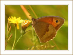 Title: Meadow Brown Camera: Canon EOS 300D