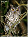 Title: Tropical Screech-Owl