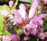 Title: Bee on a red dead-nettle
