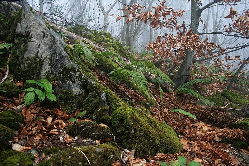 a foggy beech forest