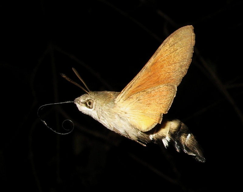 hawkmoth in-flight portrait