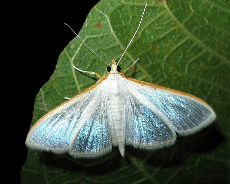 metallic blue - jasmine moth