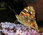 Title: vanessa, painted lady! Camera: Canon Powershot A610