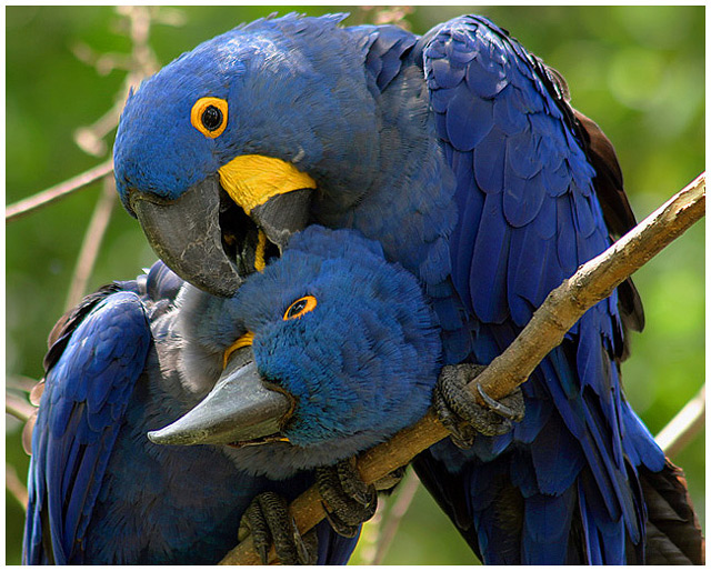 The Grooming Habits of Hyacinth Macaws