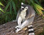 Title: Ring Tailed Lemur