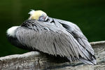 Title: Pelican at Rest
