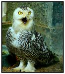 Title: Snowy Owl A I