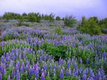 Title: Lupin field at night