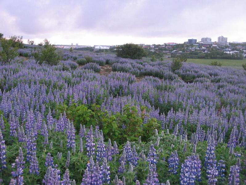 Lupins after midnight