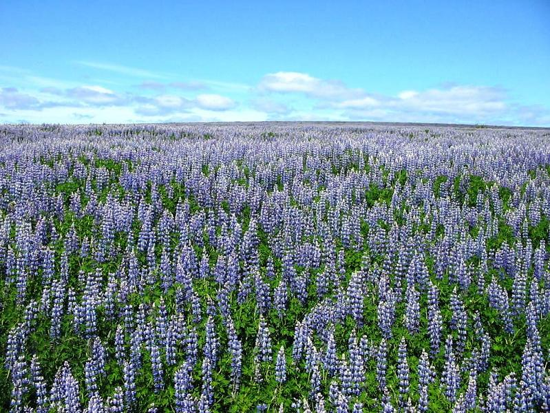 Sea of Lupins