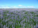 Title: Sea of Lupins