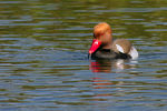 Title: Crested pochard