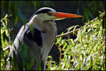 Title: Heron with backlight
