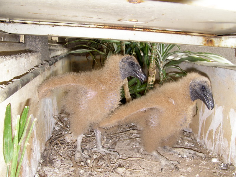 A Black Vulture story - Growing up