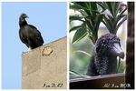 Title: A Black Vulture story - The Parents