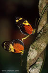 Title: Heliconius-Hecale
