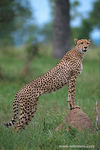 Title: Cheetah-South Africa