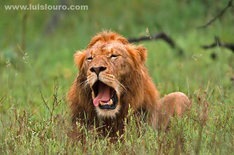 Lion-South Africa