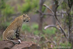 Title: Leopard-South Africa