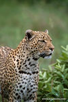 Title: Leopards-S. Africa
