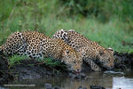 Title: Leopards-South Africa