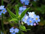 Title: Forget-Me-Not