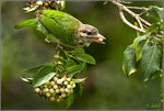 Title: White cheeked barbet