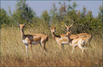 Title: Black buck -females