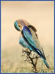 Title: Indian Roller Pruning