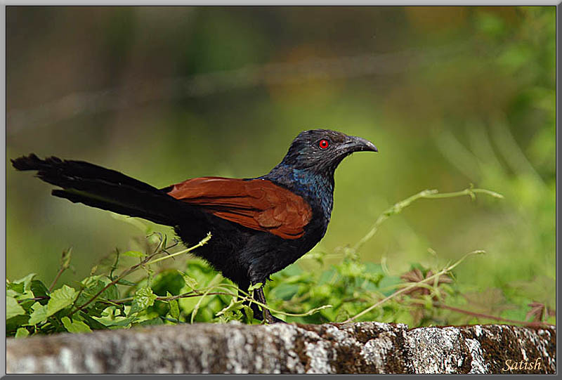 indian crow bird information Abstract: the house crow (corvus splendens), a native of the indian subcontinent , has shown a rapid expansion of habitat range across eastern africa, the  it is  an adaptable, gregarious commensal bird which is regarded.