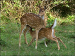 Title: Chital Fawn suckling