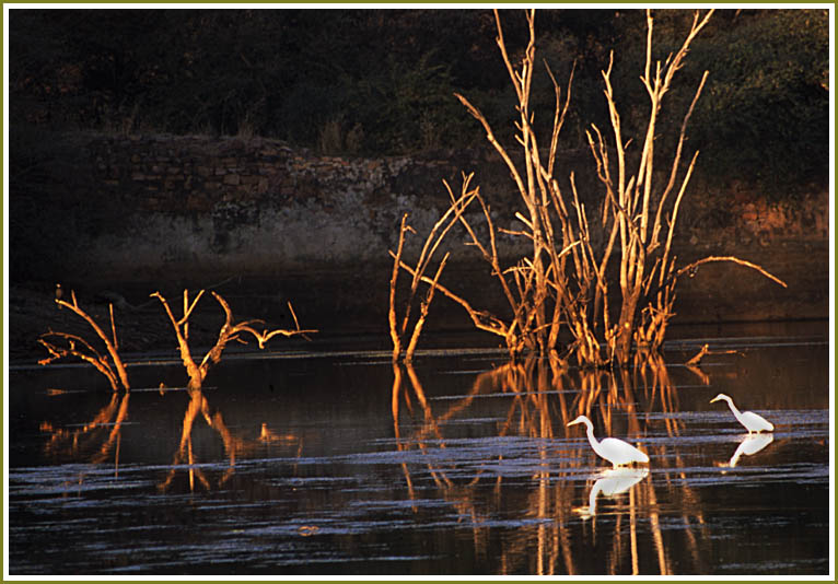 Egrets and trees