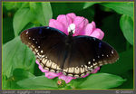 Title: Great Eggfly- Female.