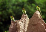 Title: Green bee eaters