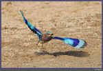 Title: Indian Roller take-off
