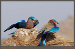 Title: Indian Roller pair