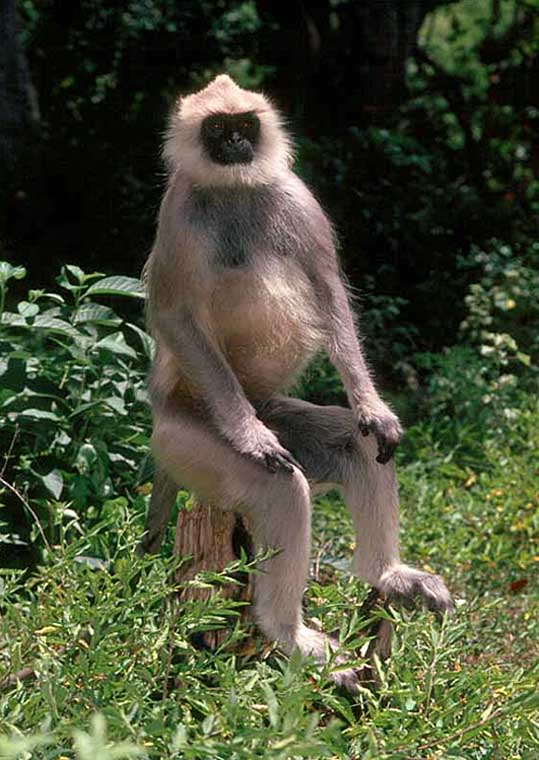 Langur Posing for Passport Photo?