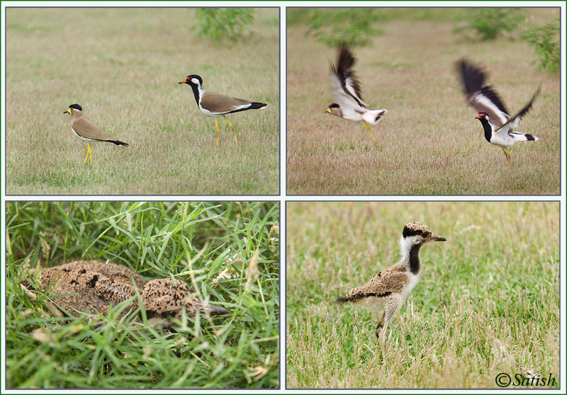 Art of Survival - Lapwing