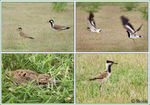 Title: Art of Survival - Lapwing