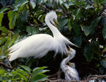 Title: Large egret with chic
