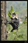 Title: Lion Tailed Macaque