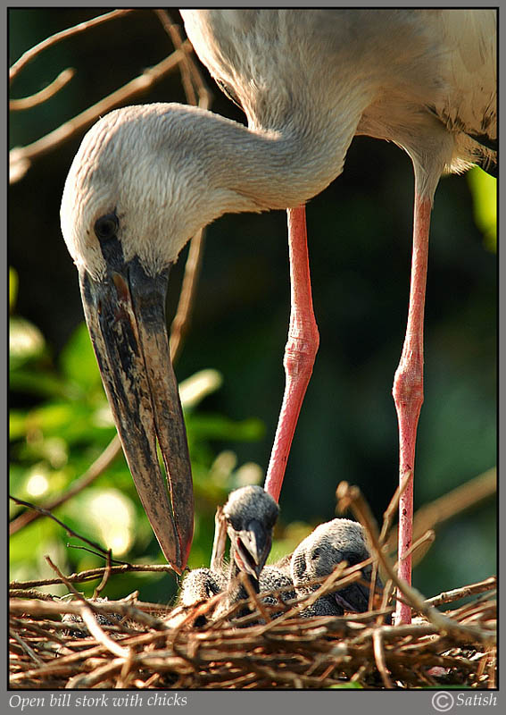 Open Bill stork with Chicks