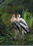 Title: Painted Stork Pair