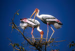 Title: Painted stork pair at Nest