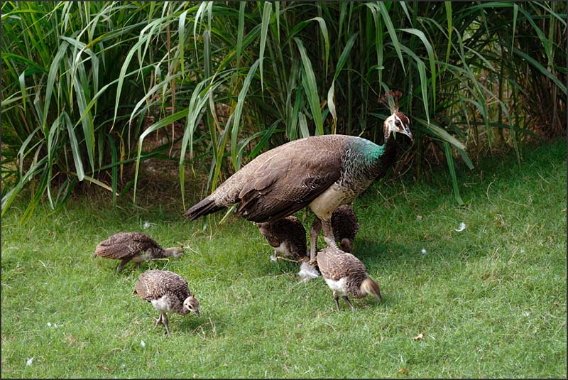 Peafowl with young ones