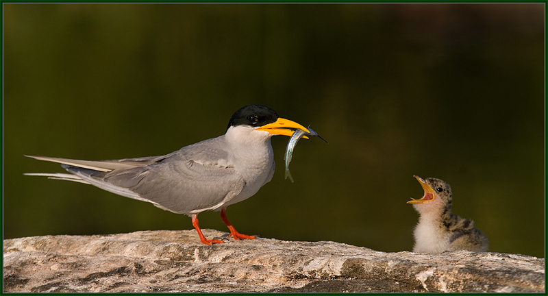 River Tern with Fish