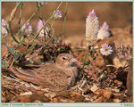 Title: Ashy crowned sparrow lark