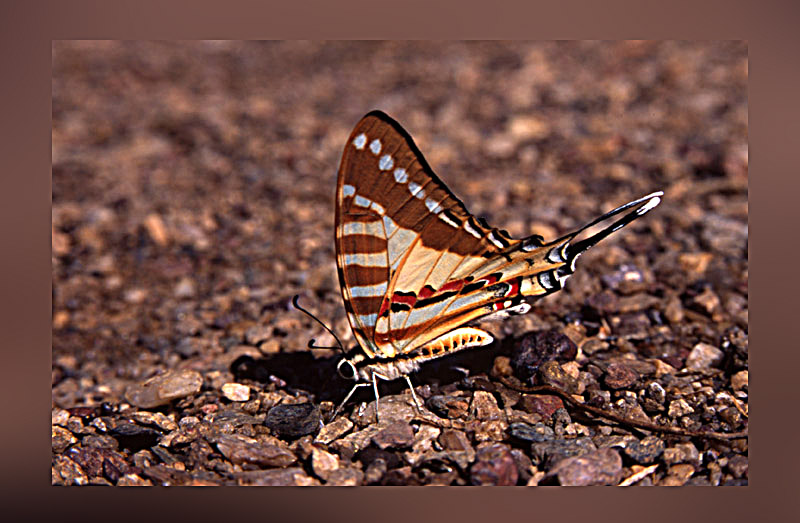 Spot Swordtail