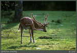 Title: Spotted Deer Scratching